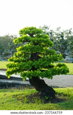 Bonsai pine tree against - stock photo