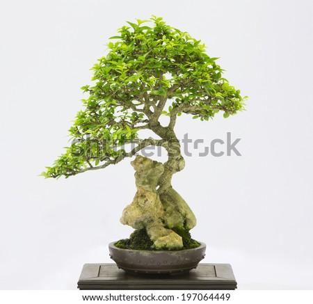 Bonsai pine tree against a white wall - stock photo