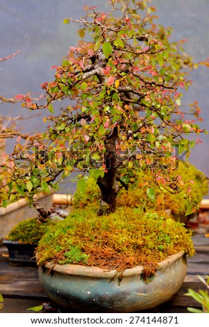 Bonsai pine tree in doi angkhang mountain (Royal Agricultural Station Angkhang), Chiangmai : Thailand - stock photo