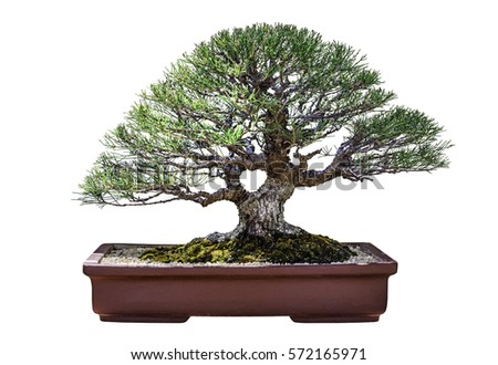 Bonsai pine tree isolated on white background