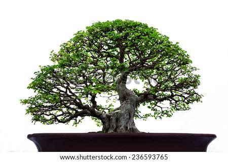 Bonsai pine tree on White background. - stock photo