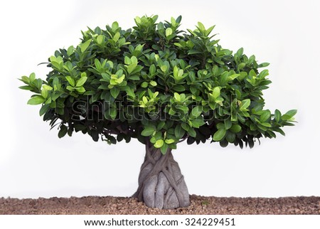 Bonsai plant, green with leaves - stock photo