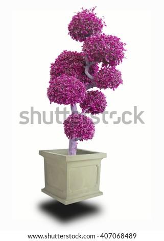 bonsai red on White background - stock photo