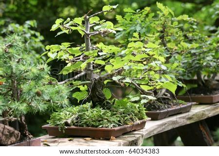 Bonsai tree - stock photo