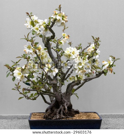Bonsai tree against a white background.  Lesser Flowering Quince, style Clump. - stock photo