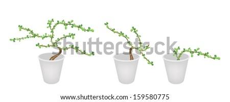 Bonsai Tree, An Illustration Collection Carmona Retusa (Vahl) Masam Plant in Three Flowerpots for Garden Decoration.  - stock photo