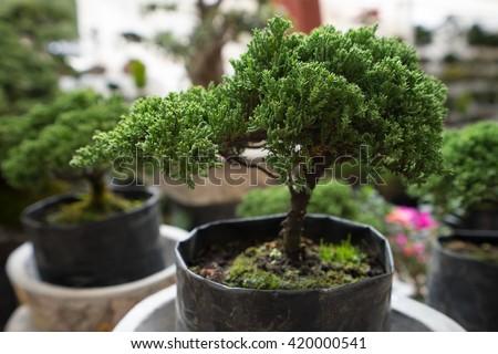 bonsai tree for sale at mexican vendor in san miguel de allende  - stock photo