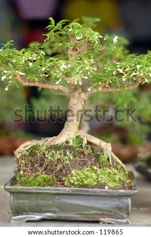 Bonsai tree from Bangkok, Thailand