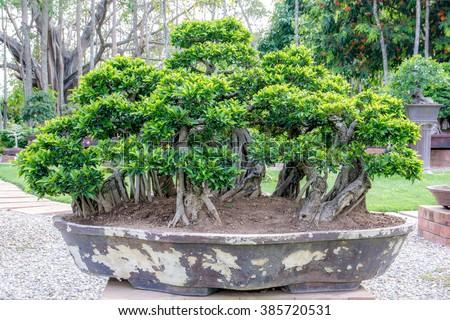Bonsai tree in a big pot - stock photo