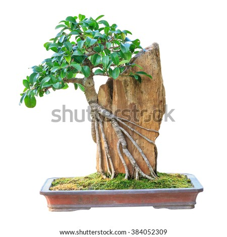 Bonsai tree in a brown ceramic pot isolated on white background. - stock photo