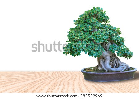 Bonsai tree in a ceramic pot on a wooden floor and isolated on white background for design. - stock photo