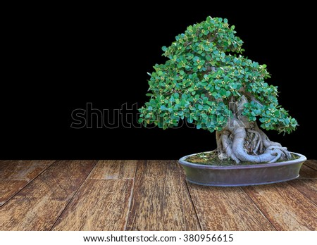 Bonsai tree in a ceramic pot on wood floor and black background. - stock photo