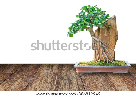 Bonsai tree in a ceramic pot on wooden floor with isolated on white background for design with copy space for text or image. - stock photo