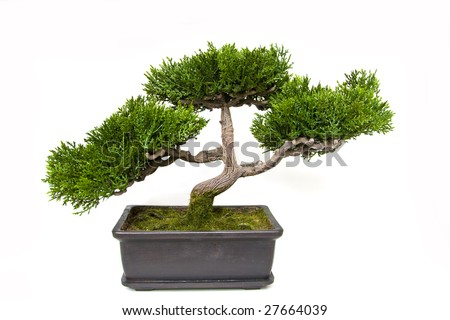 Bonsai tree in a pot - stock photo