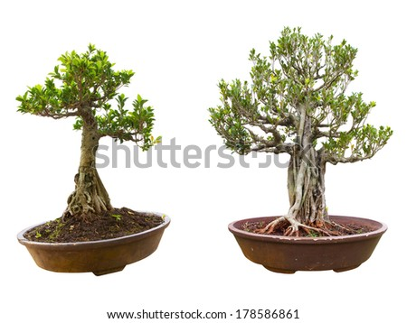 bonsai tree in a pot. Isolated on a white background - stock photo