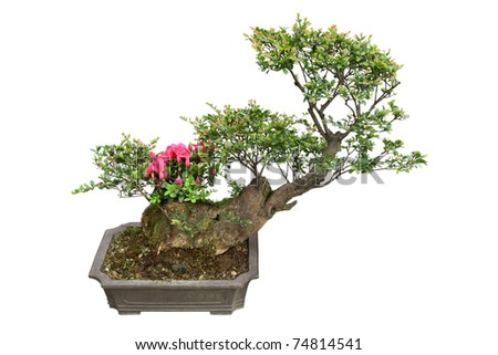 bonsai tree  in a pottery pot,chinese traditional garden plants