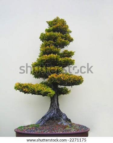 Bonsai tree in an oval pot. - stock photo