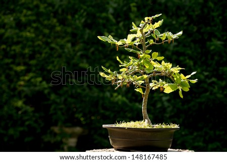 Bonsai tree in bright sunlight, with space for your text. - stock photo