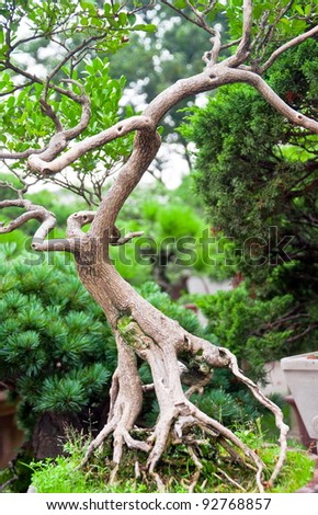 Bonsai tree in chinese garden, with twisted roots and branches - stock photo