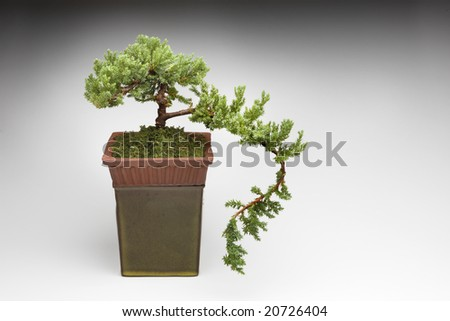 Bonsai tree in clay pot on a white background - stock photo