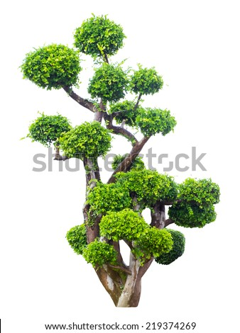 bonsai tree in garden isolated on white  - stock photo