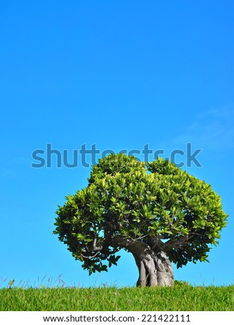 bonsai tree in garden with blue sky  - stock photo