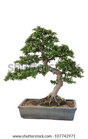 Bonsai tree in isolated white background - stock photo