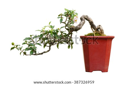 Bonsai tree in pot, isolated on white background. - stock photo