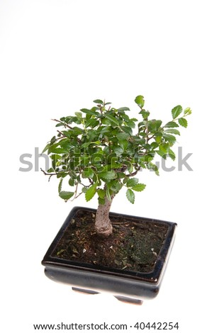 Bonsai tree in square flowerpot isolated on white background - stock photo