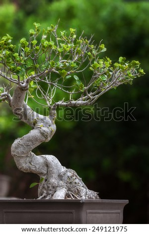 bonsai tree in the open outdoors showing pot and plain green background
