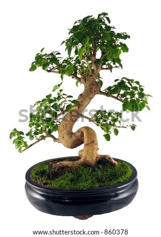 Bonsai tree (isolated) - stock photo