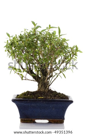 Bonsai tree isolated in white background. Great colors