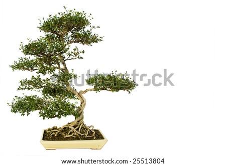 Bonsai tree isolated on a white background. - stock photo