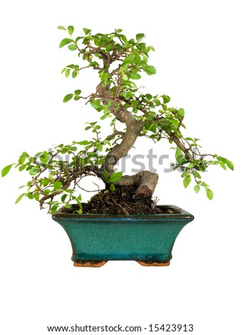 Bonsai tree isolated on white background