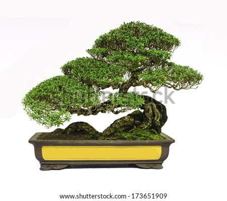 Bonsai tree, isolated on white background - stock photo