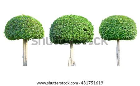 Bonsai tree isolated on white background, Green tree. - stock photo