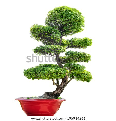 Bonsai tree isolated on white background. Traditional Japanese art of growing small plant in pot. Nature zen background. - stock photo