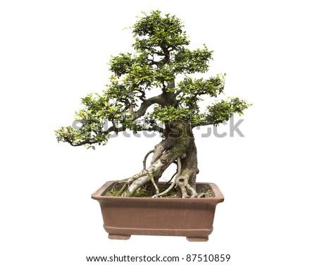bonsai tree isolated on white,miniature elm tree - stock photo