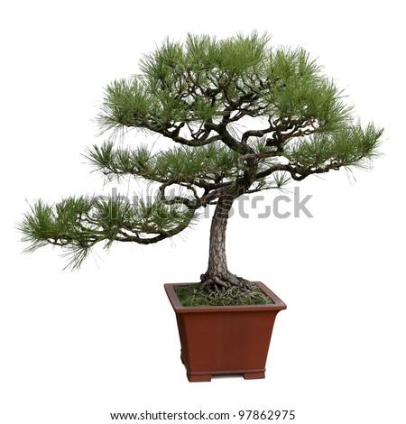 bonsai tree isolated on white, miniature pine tree - stock photo