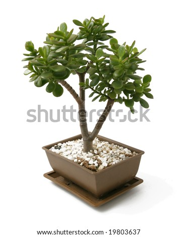 Bonsai tree - little bush - stock photo