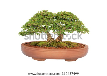 bonsai tree lsolated on white background - stock photo