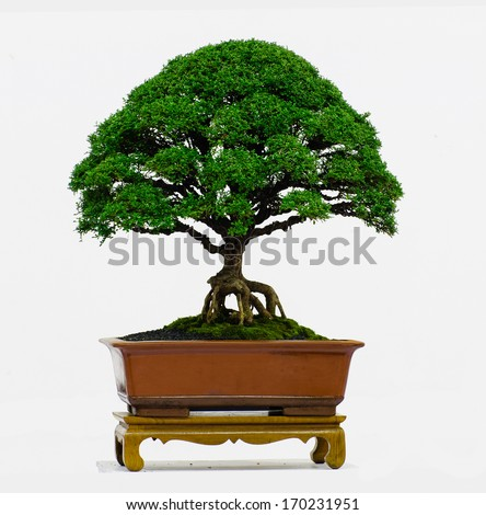 Bonsai tree - Murraya paniculata Dwarf , isolated on bright background - stock photo