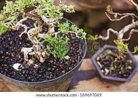 bonsai tree nursery (soft focus) - stock photo