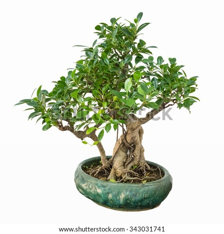 bonsai tree of banyan - stock photo