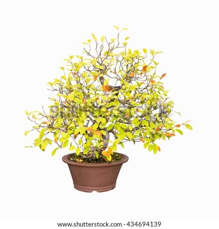 bonsai tree of crabapple isolated on a white background - stock photo