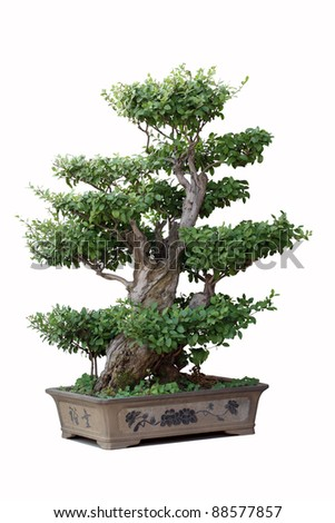 bonsai tree of elm in a pottery pot - stock photo
