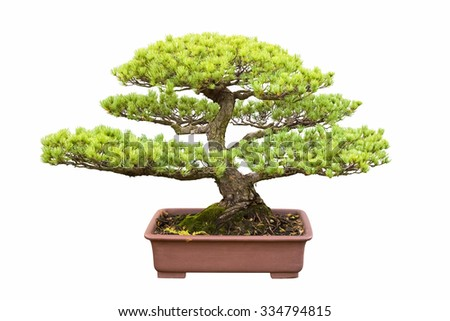 bonsai tree of five needle pine with a white background - stock photo