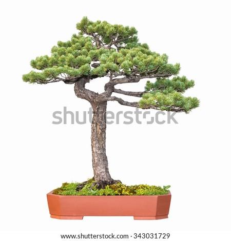 bonsai tree of pine - stock photo