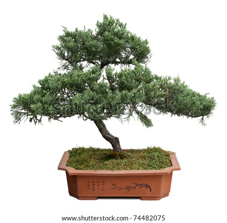 bonsai tree of  pine  in a ceramic pot  isolated on white - stock photo