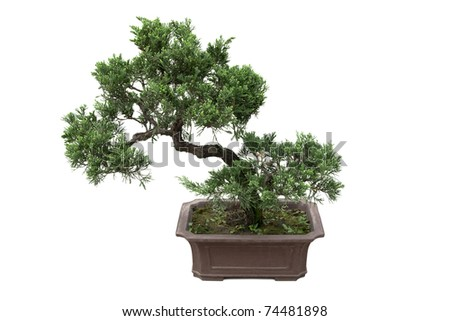 bonsai tree of  pine  in a pottery pot  isolated on white